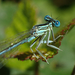 White-legged Damselfly - Photo (c) Matthieu Gauvain, some rights reserved (CC BY-NC)