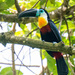 Channel-billed Toucan - Photo (c) William Stephens, some rights reserved (CC BY-NC)