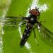 Ocyptamus gastrostactus - Photo (c) Ísis Meri Medri, algunos derechos reservados (CC BY-NC)
