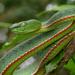Trimeresurus sabahi - Photo (c) rharris70, osa oikeuksista pidätetään (CC BY-NC)