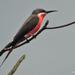 Merops malimbicus - Photo (c) Nik Borrow, μερικά δικαιώματα διατηρούνται (CC BY-NC)