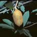 Theobroma grandiflorum - Photo (c) Smithsonian Institution, National Museum of Natural History, Department of Botany, osa oikeuksista pidätetään (CC BY-NC-SA)