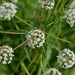 Cowbane - Photo (c) Игорь Поспелов, some rights reserved (CC BY-NC)
