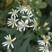 Doellingeria umbellata - Photo (c) Anita363, algunos derechos reservados (CC BY-NC-SA), uploaded by Anita