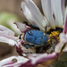 Blue Monkeybeetle - Photo (c) Scelophysa_trimeni.jpg, some rights reserved (CC BY-SA)