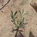 Lupinus multiflorus - Photo (c) Florencia Grattarola, alguns direitos reservados (CC BY)