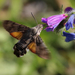 Macroglossine Sphinx Moths - Photo (c) Brendan Burke, some rights reserved (CC BY-NC)