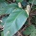 Calateas - Photo (c) botanicalkatz, algunos derechos reservados (CC BY-NC)