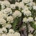 Helichrysum niveum - Photo (c) Andrew Massyn,  זכויות יוצרים חלקיות (CC BY-NC)