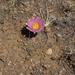 Echinocereus weinbergii - Photo (c) Wolfgang Blum, algunos derechos reservados (CC BY-NC)