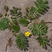 Pacific Silverweed - Photo (c) Eric in SF, some rights reserved (CC BY-SA)