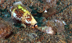 Image of Conus ammiralis