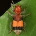 Enoclerus ichneumoneus - Photo (c) skitterbug, algunos derechos reservados (CC BY)