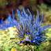 Pteraeolidia ianthina - Photo (c) Richard Ling, algunos derechos reservados (CC BY-NC-ND)