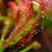 Sundews - Photo (c) Scott Schiller, some rights reserved (CC BY-NC)