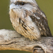 Australo-Papuan Frogmouths - Photo (c) JJ Harrison, some rights reserved (CC BY-SA)