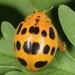 Epilachna borealis - Photo (c) skitterbug, algunos derechos reservados (CC BY)