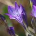 Triteleia laxa - Photo (c) Philip Bouchard, algunos derechos reservados (CC BY-NC-ND)