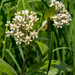 Oval-leaved Milkweed - Photo (c) Janet Nelson, some rights reserved (CC BY-NC-ND)
