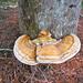 Ganoderma zonatum - Photo (c) Benjamin J. Dion, algunos derechos reservados (CC BY-NC-SA)