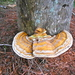 Ganoderma zonatum - Photo (c) Benjamin J. Dion, some rights reserved (CC BY-NC-SA)