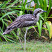 Bush Stone-Curlew - Photo (c) David Laurie, some rights reserved (CC BY-NC)