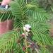 Acacia pennata - Photo (c) siddarthmachado, alguns direitos reservados (CC BY-NC)
