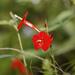 Ipomoea hederifolia - Photo (c) aussiecreature, alguns direitos reservados (CC BY-NC)