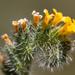 Amsinckia calycina - Photo (c) Sebastián Lescano, μερικά δικαιώματα διατηρούνται (CC BY-NC)