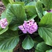 Bergenia - Photo (c) pamtaylor, some rights reserved (CC BY-NC)