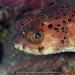 Täpläsiilikala - Photo (c) terence zahner, osa oikeuksista pidätetään (CC BY-NC)