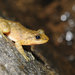 South China Cascade Frog - Photo (c) huichuntung, some rights reserved (CC BY-NC)