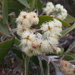 Eucalyptus pleurocarpa - Photo (c) Leon Perrie, μερικά δικαιώματα διατηρούνται (CC BY-NC)