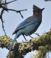 Steller's Jay - Photo (c) Don Loarie, some rights reserved (CC BY)