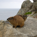 Hyraxes - Photo (c) Joshua, some rights reserved (CC BY-NC-SA)