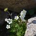 Saxifraga sibirica - Photo (c) Aleksandr Naumenko, algunos derechos reservados (CC BY-NC)