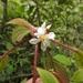 Miconia vallartensis - Photo (c) Dante S. Figueroa, algunos derechos reservados (CC BY-SA)