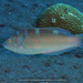 Puddingwife - Photo (c) terence zahner, some rights reserved (CC BY-NC)