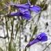 Lobelia coronopifolia - Photo (c) Jenny,  זכויות יוצרים חלקיות (CC BY-NC)