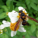 Anterhynchium flavomarginatum - Photo (c) Patrick Randall, some rights reserved (CC BY-NC)