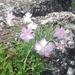 Dianthus plumarius neilreichii - Photo (c) poanemoralis, algunos derechos reservados (CC BY-NC)
