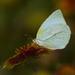 Mariposa Azufre Guayacana - Photo (c) Jack Cochran, algunos derechos reservados (CC BY-NC)