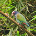 White-crowned Parrot - Photo (c) pbedell, some rights reserved (CC BY-SA)