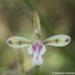 Acriopsis - Photo (c) Gerard Chartier, alguns direitos reservados (CC BY)