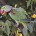 Alexandrine Parakeet - Photo (c) jageshwerverma, some rights reserved (CC BY-NC)
