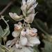 Paracalyx scariosus - Photo (c) Anil Kumar Verma, alguns direitos reservados (CC BY-NC)