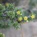 Condalia ericoides - Photo (c) Carlos Velazco, μερικά δικαιώματα διατηρούνται (CC BY-NC), uploaded by Carlos G Velazco-Macias