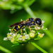 Ectemnius stirpicola - Photo (c) bob15noble, algunos derechos reservados (CC BY-NC)