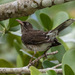 Pearly-eyed Thrasher - Photo (c) Stephen_WV, some rights reserved (CC BY-NC-ND)