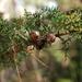 Cupressus pygmaea - Photo (c) Coley Wopperer, algunos derechos reservados (CC BY-NC-SA)